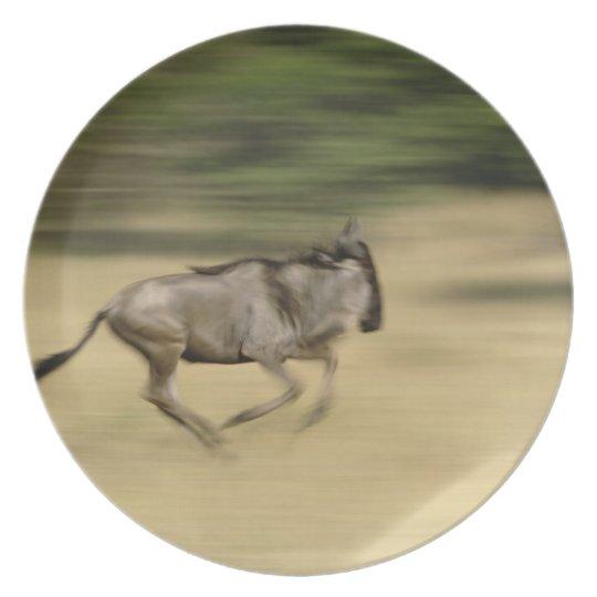 Wildebeest in motion, Connochaetes taurinus, Dinner Plate