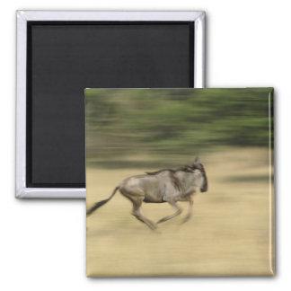 Wildebeest in motion, Connochaetes taurinus, Magnet