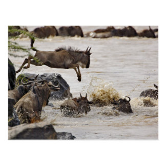 Wildebeest jumping into Mara River during Post Cards