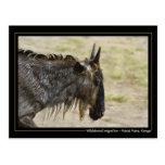 Wildebeest migration Kenya wildlife postcards