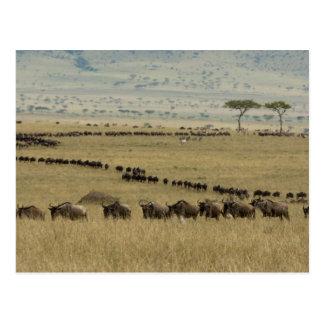 Wildebeest o Gnu Blanco-barbudo, Connochaetes 2 Tarjeta Postal