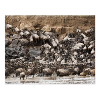 Wildebeest o Gnu Blanco-barbudo, Connochaetes Tarjeta Postal
