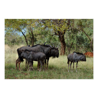 Wildebeest South Africa Poster