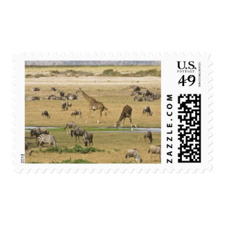 Wildebeests, Zebras and Giraffes gather at a Postage