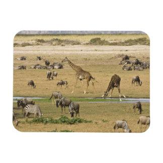Wildebeests, Zebras and Giraffes gather at a Rectangular Photo Magnet