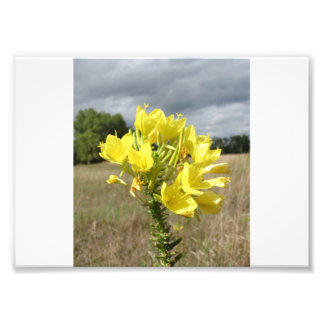 Wildflower amarillo cojinete