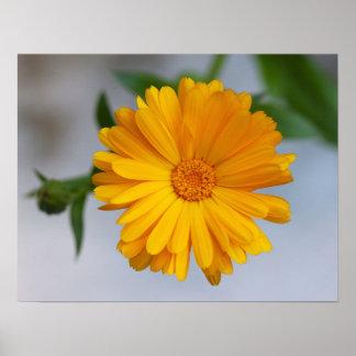 Wildflower amarillo de la margarita del Gerbera Posters