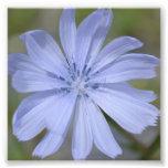 Wildflower azul fotos
