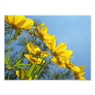 Wildflower Bracted largo del girasol de Tickseed Arte Fotografico
