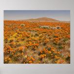 Wildflower de la amapola de California Póster