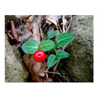 Wildflower de la baya de la perdiz tarjeta postal