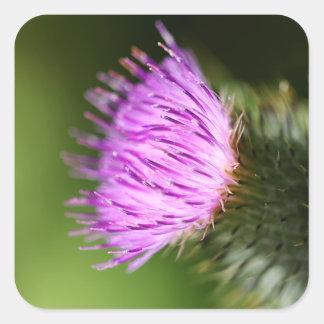 Wildflower de la púrpura del cardo de leche pegatina cuadrada