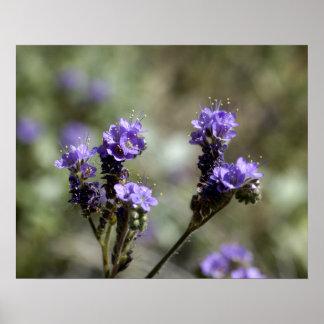 Wildflower de la púrpura del Scorpionweed Póster