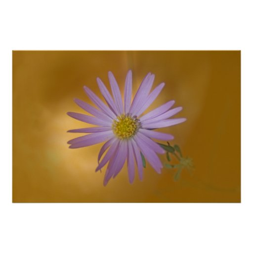 Wildflower del aster de Mojave Póster