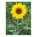 Wildflower del girasol del flor postal