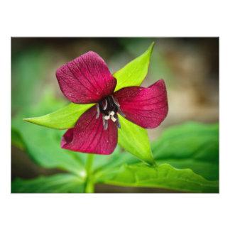 Wildflower del Trillium rojo de Benjamin que apest Impresiones Fotográficas