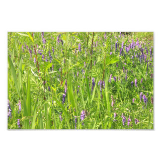 Wildflower - Tufted Vetch Photograph