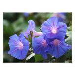 Wildflowers azules iluminados de la correhuela impresiones fotograficas