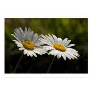 Wildflowers Bejeweled rocío de la margarita de ojo Postal