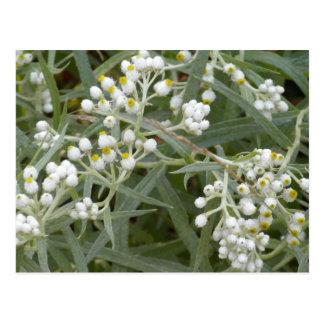Wildflowers blancos postal
