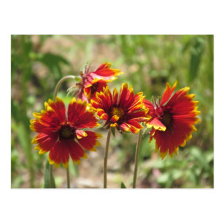 Wildflowers combinados indios tarjeta postal