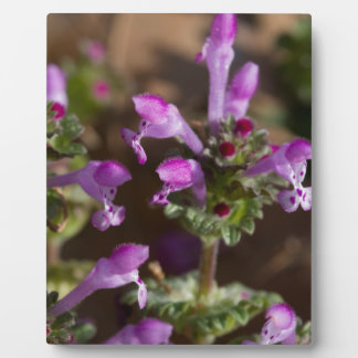 Wildflowers de Alabama Henbit Deadnettle Placa