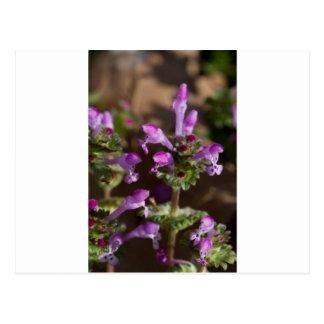 Wildflowers de Alabama Henbit Deadnettle Tarjeta Postal