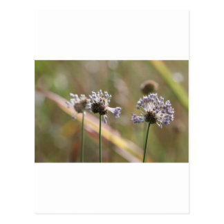 Wildflowers de la cebolla salvaje - cebolla salvaj tarjeta postal