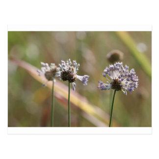 Wildflowers de la cebolla salvaje - cebolla salvaj postal