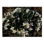 Wildflowers de la isla de Pasillo, Claytonia Postales