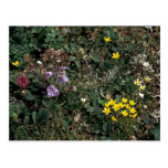 Wildflowers de la isla de Pasillo - pantano Saxifr Tarjeta Postal