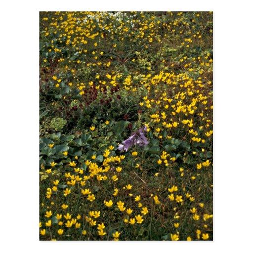 Wildflowers de la isla de Pasillo, pantano Saxifra Tarjetas Postales