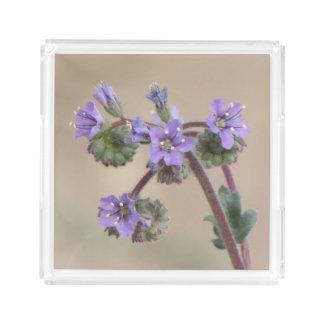 Wildflowers de la púrpura de Phacelia Bandeja Cuadrada
