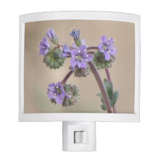 Wildflowers de la púrpura de Phacelia Luces De Noche