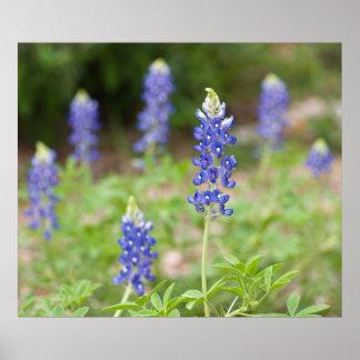 Wildflowers del Bluebonnet Impresiones
