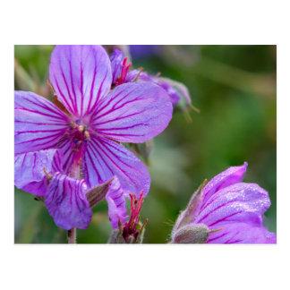 Wildflowers del geranio pegajoso tarjeta postal