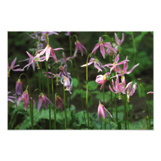 Wildflowers - Fawn Lilies Photographic Print