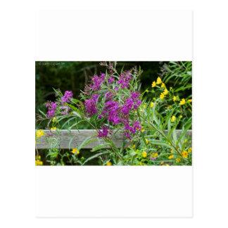 Wildflowers púrpuras del Ironweed - gigantea de Ve Postal