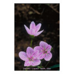 Wildflowers / Spring Beauty Print