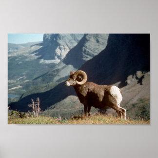 Wildlife photo art poster of wild bighorn sheep