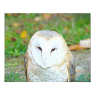 Wildlife photography Art Prints White Owl birds Photo