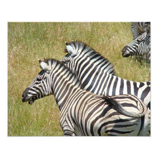 Wildlife Safari Photography art prints Zebras Photographic Print