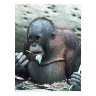 Wildlife Set - Primates 4 Postcard