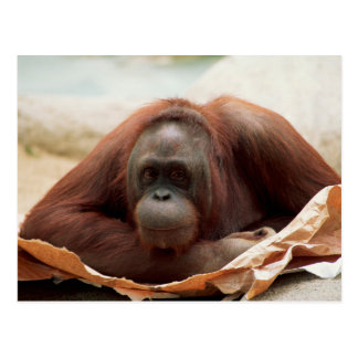 Wildlife Set - Primates 7 Postcard