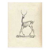 William Cheselden Deer Skeleton Postcard