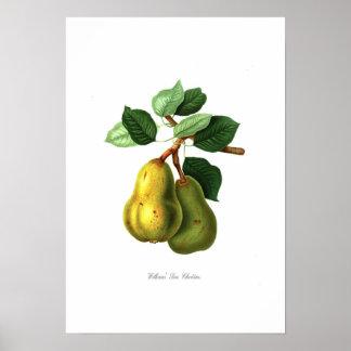 Williams Bon Chretien pear Print