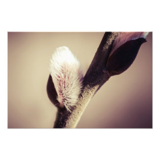 Willow buds - Thrust Of New Life Photo Print