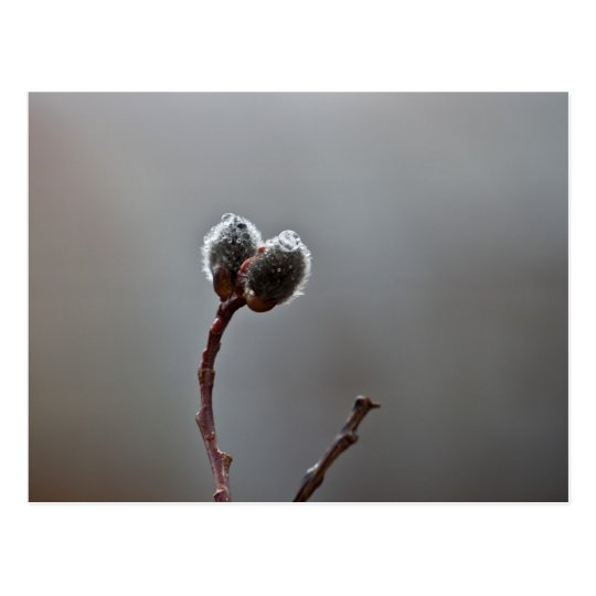 Willow Catkins After Spring Rain Postcard
