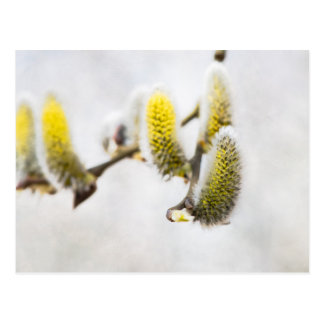 Willow Catkins - Silver World Postcard