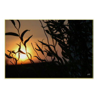Willow Sunset Poster Print